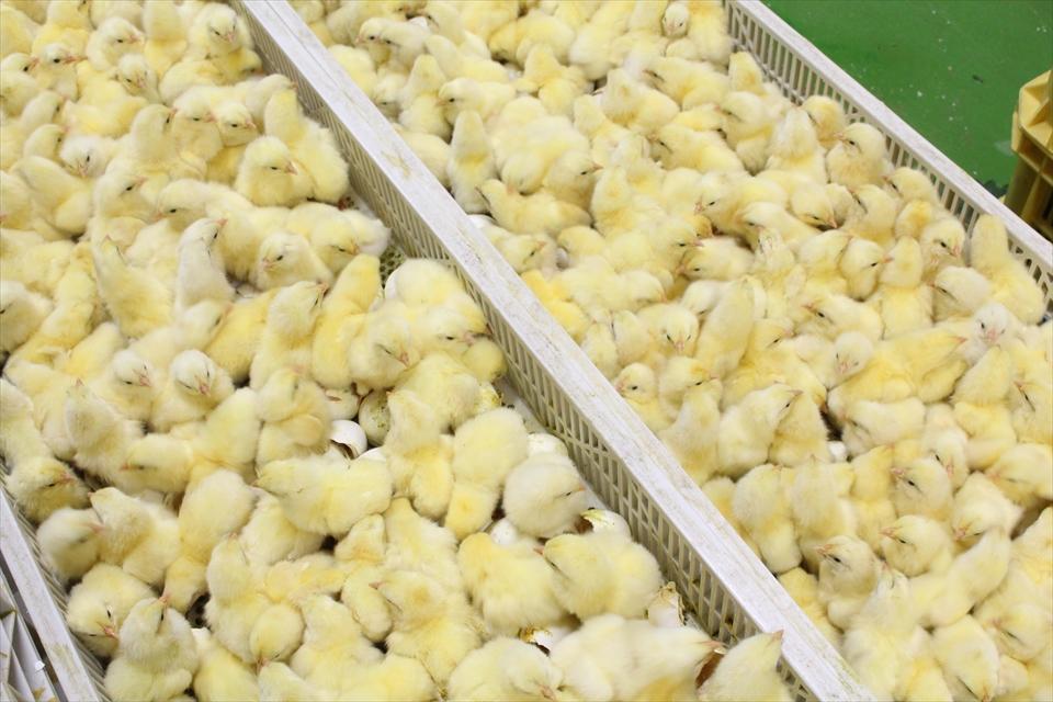 種鶏の育成や鶏卵の生産事業